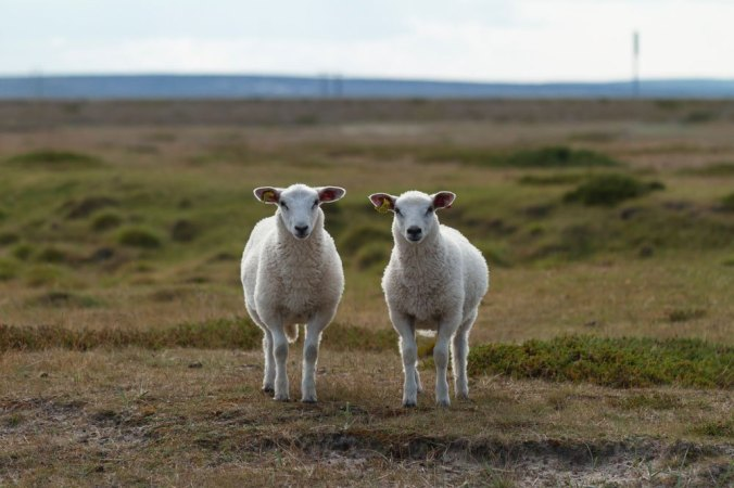 Two sheep stand in a field, looking at the camera.