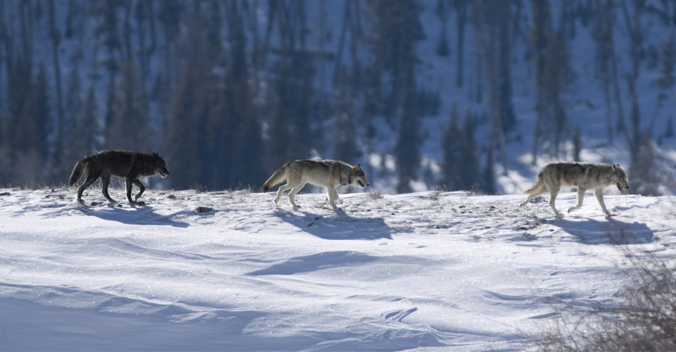 1-Wolves-photo-istock