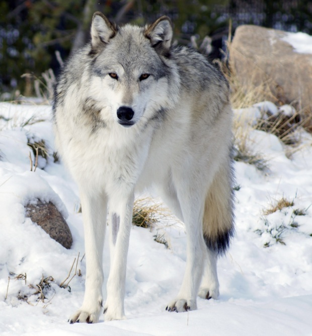 Canis_lupus_occidentalis-wikicommon.jpg