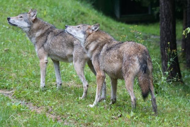 wolf-1514770_1920