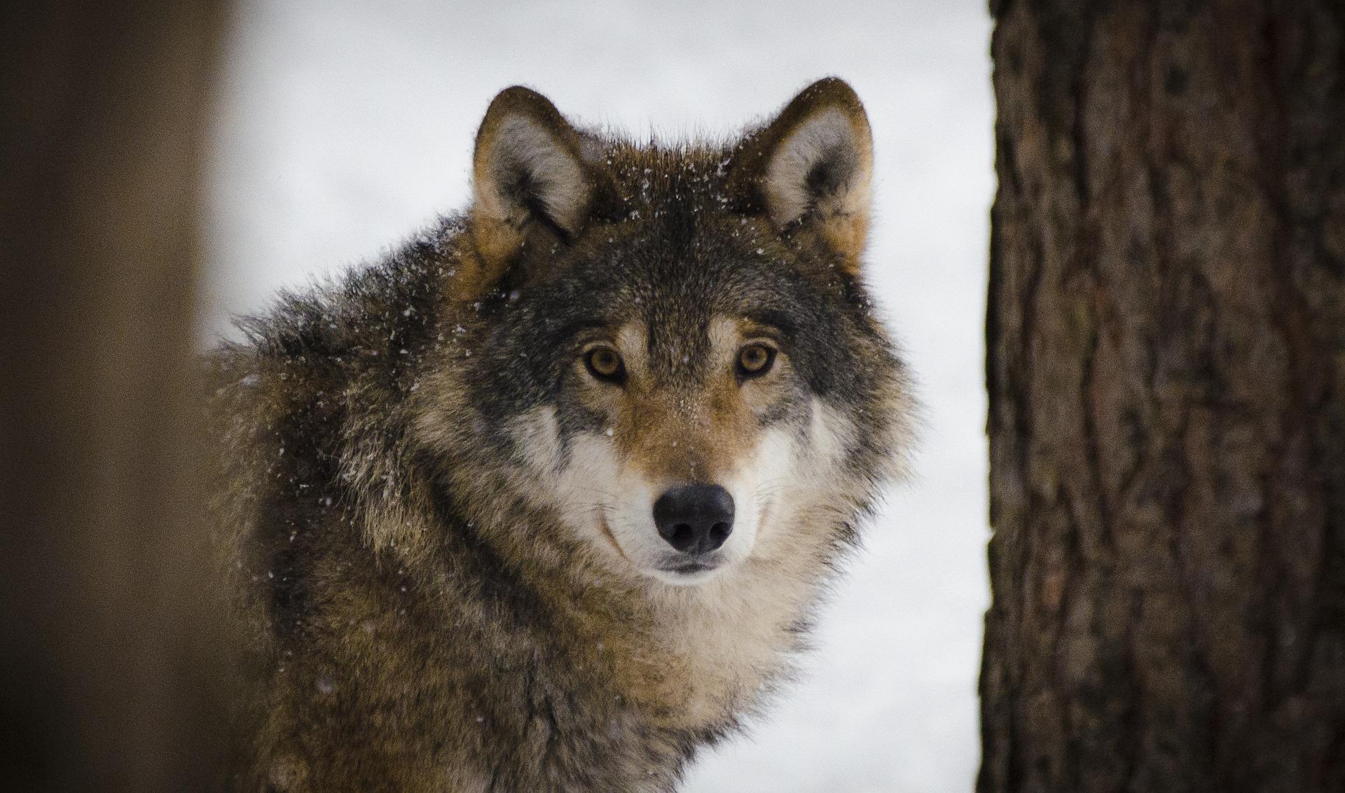 Wolf, image courtesy Pixabay