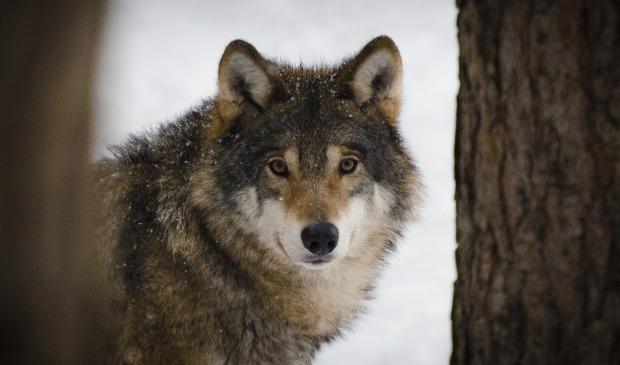 wolf-2106894_1920