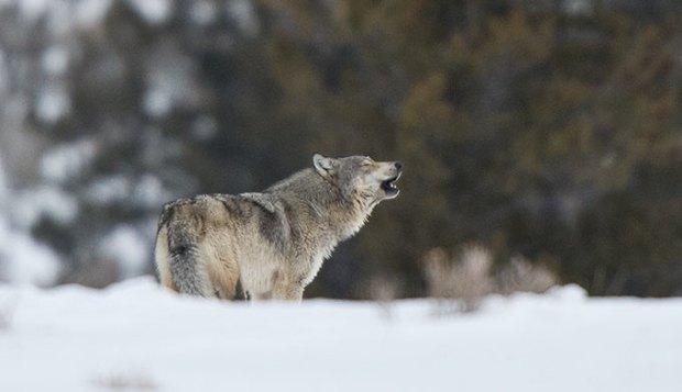 wolf-howling-winter_680x392.jpg