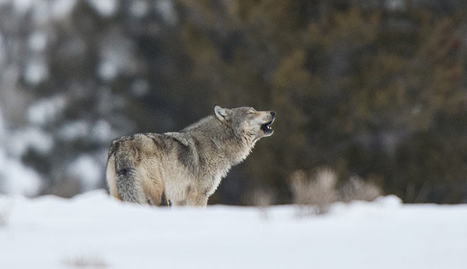 wolf-howling-winter_680x392.jpg