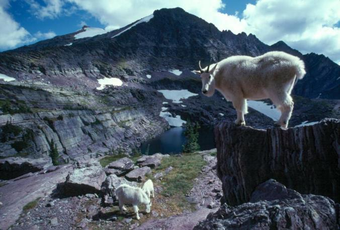 GNP.mountain.goat3.preview.jpg