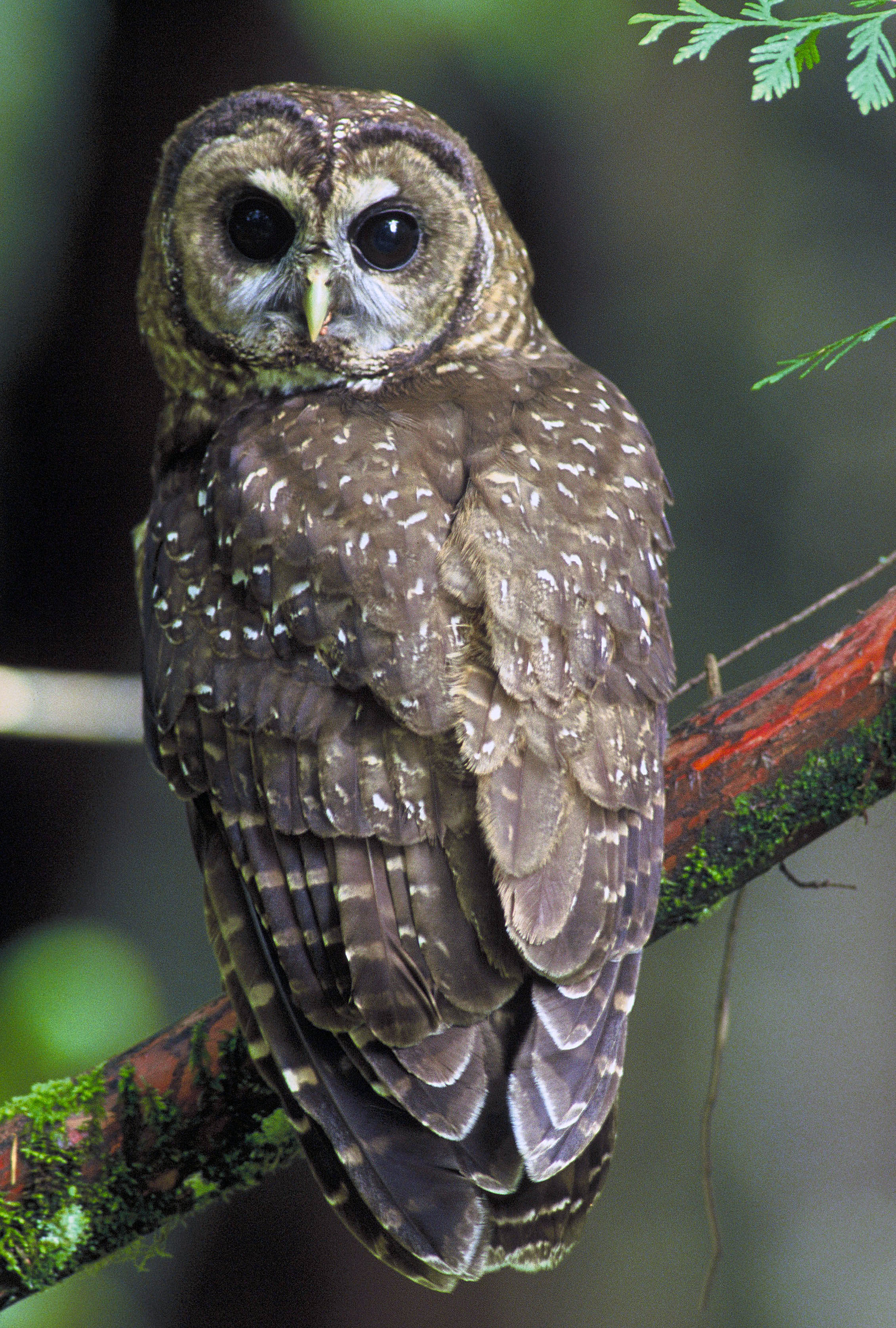 Northern_Spotted_Owl.USFWS-thumb