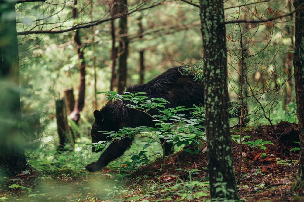 Matthews_ A black bear in the forest