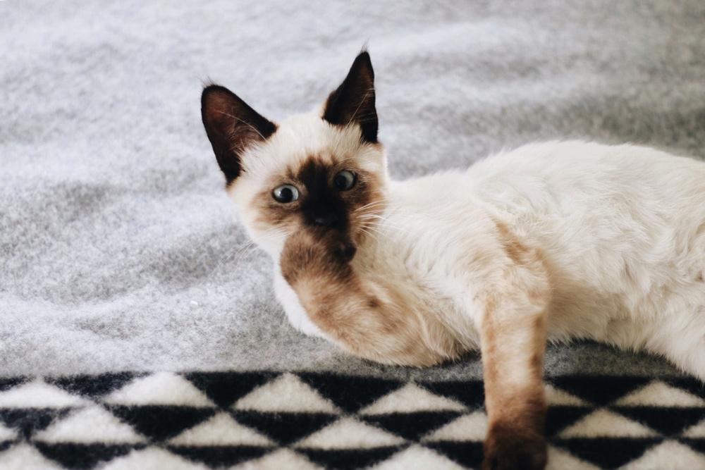 A Siamese kitten washes paw on Yosemite custom blanket by Pendleton
