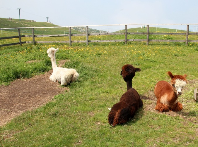 Three shorn alpacas relax in a pasture.