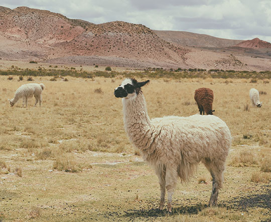 alpaca-wool-hair