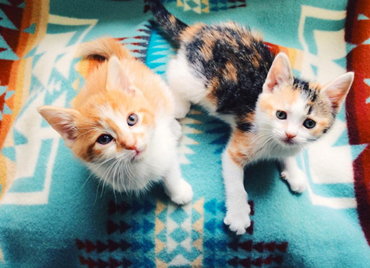 Two very young little kittens on a Chief Joseph Pendleton blanket
