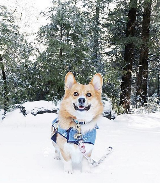 A happy corgi named Cooper poses in a snowy forest, wearing his Pendleton Pet dog coat.