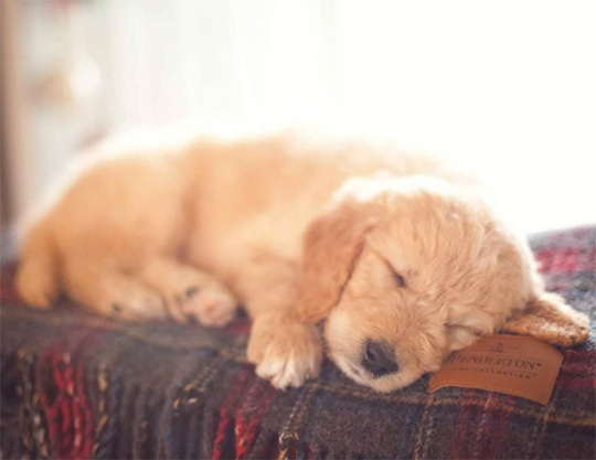 A goldendoodle puppy asleep on a Pendleton throw.