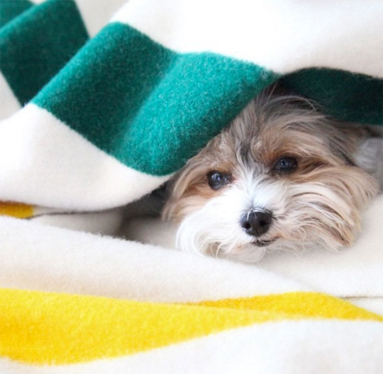A tiny Yorkie pup peeks out from a Pendleton Glacier Park blanket.