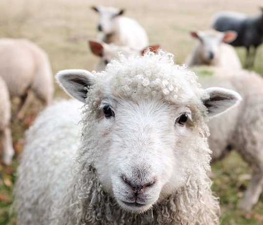 A sweet-faced sheep looks at the camera.