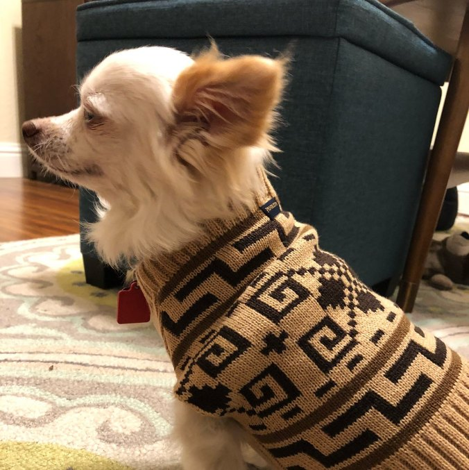 A longhaired Chihuahua wears a Westerley sweater