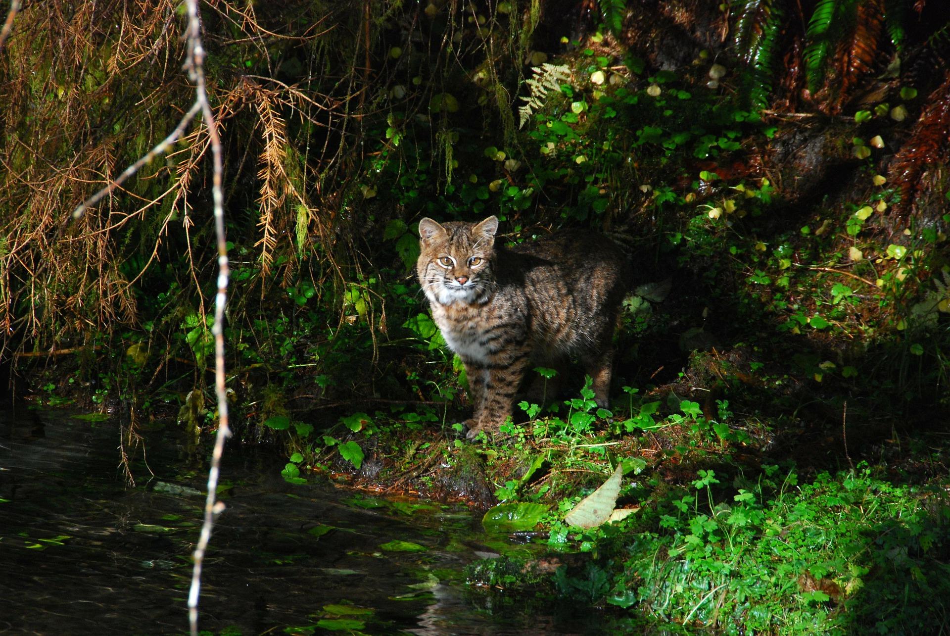 olympic-national-park-bobcat