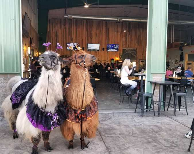 An alpaca and a lama pose outside a Portland, Oregon coffee bar.