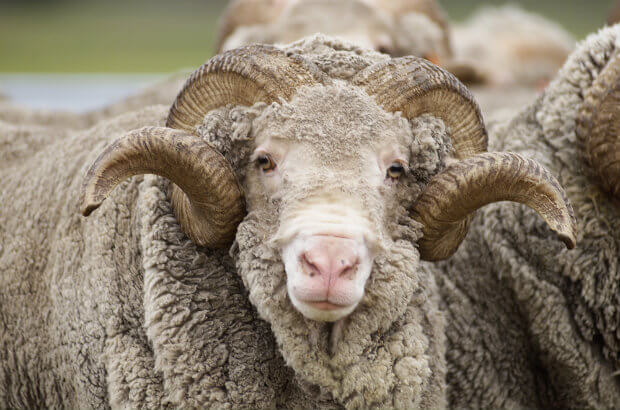 A very wooly merino sheep with curling horns and a very overgrown coat makes eye contact with the camera.