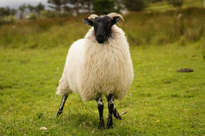 a Shetland sheep
